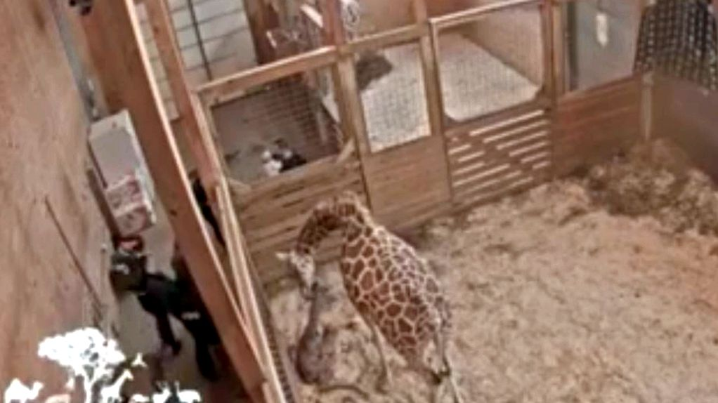 April the giraffe 'profoundly advanced' during pregnancy on thursday, likely to deliver soon obvious manifestation