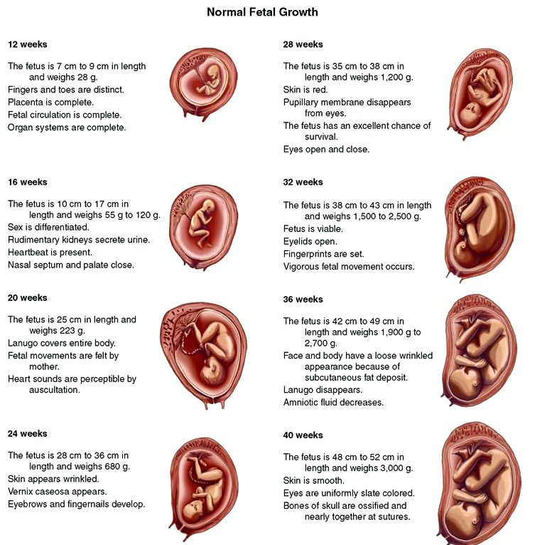 Stages of being pregnant & fetal development fully created